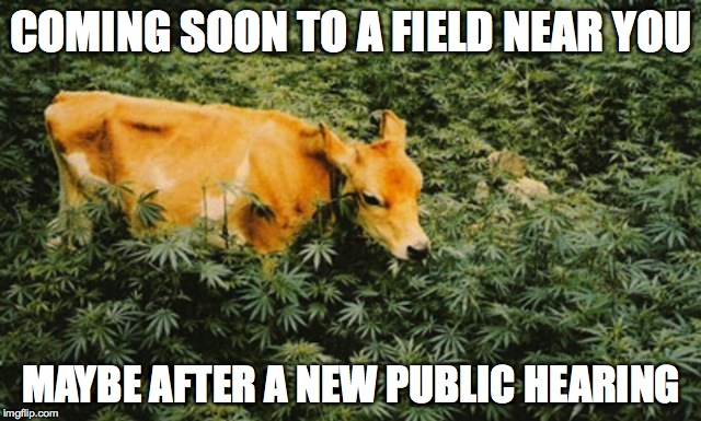 cow in a weed field